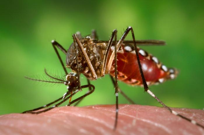 Mücken und Tigermücken aus Brasilien
